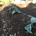 家庭菜園 〜冬野菜を植えよう〜